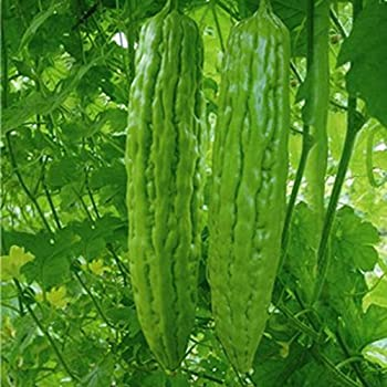 ampalaya planting guide philippines