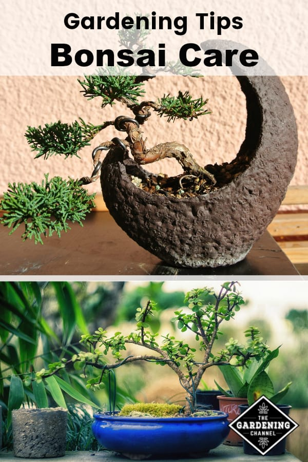 celtis bonsai care guide